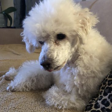Poodles for Adoption – Poodle Rescue of New England