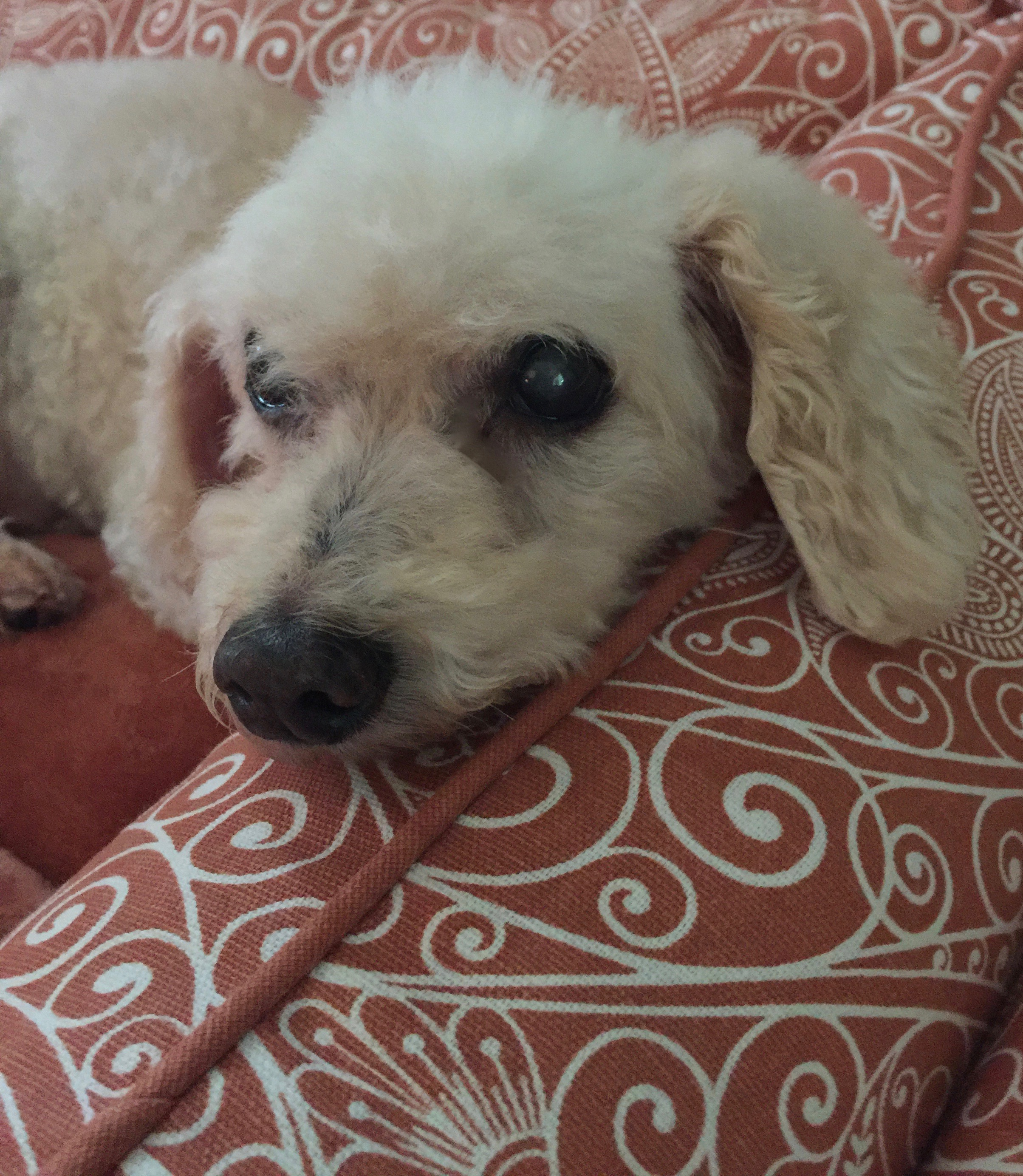 Poodle Rescue of New England – Our goal is to place the