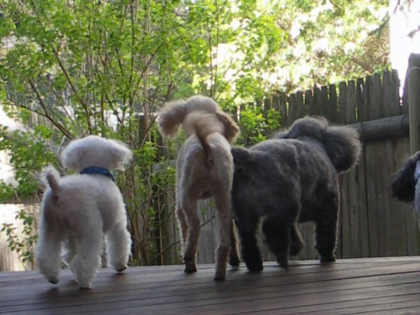 Poodle Rescue of New England – Our goal is to place the right Poodle into  the right home!